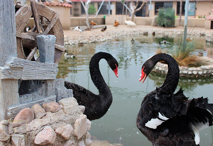 Dos cisnes negros delante de un estanque en el zoológico La era de las Aves en Fresno el Viejo situado en la localidad de Valladolid